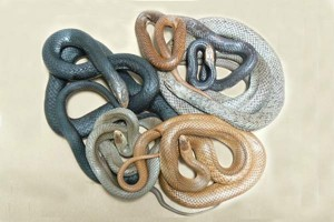 Colour is not your identification key - These are ALL Eastern Brown Snakes.